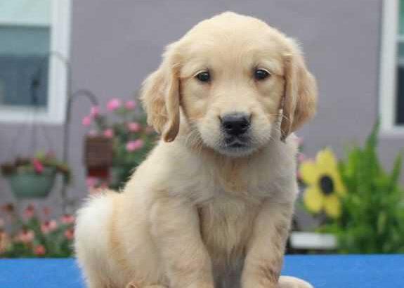 golden retriever pup te koop